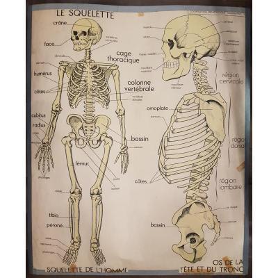 Objet De Curiosités: Deux Affiches Anatomiques d'école - Rossignol