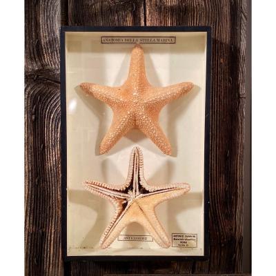 Vitrine Didactique Sur l'Anatomie De l'étoile De Mer