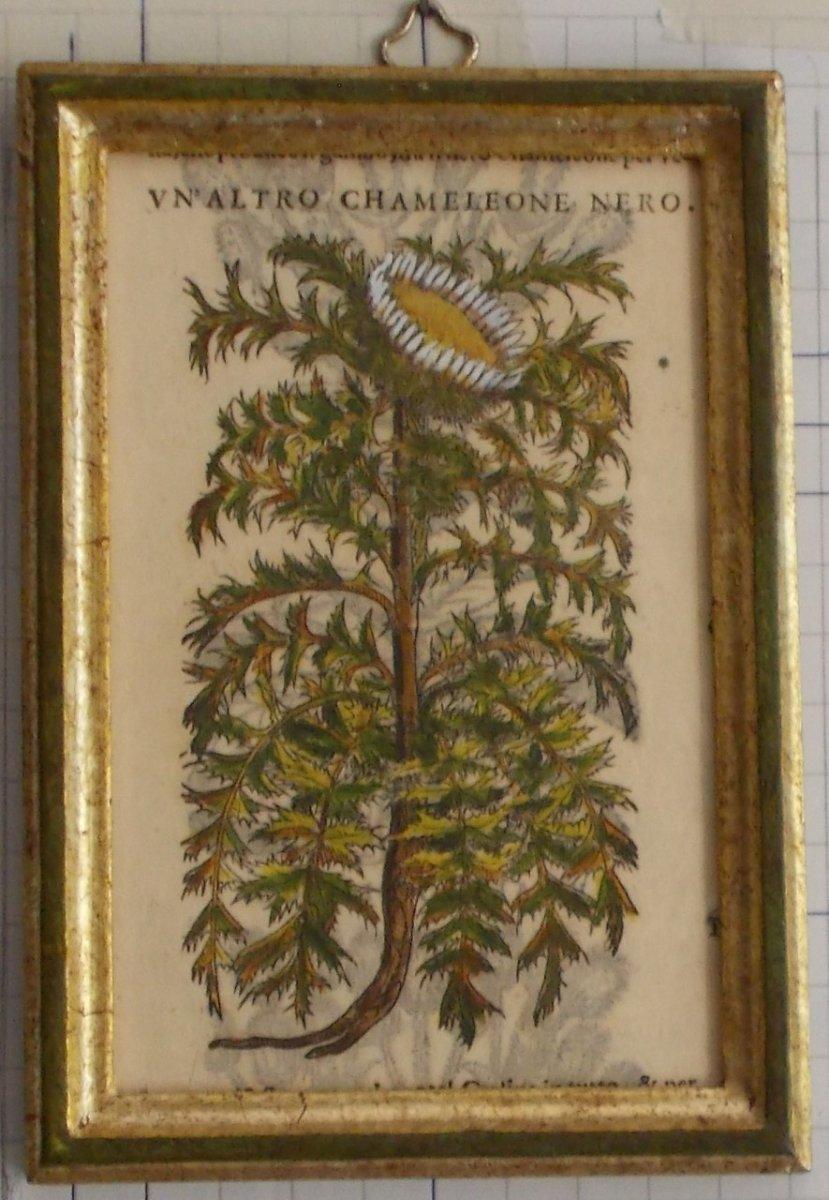 025 Gravure antique xilographie Botanique Herbarium Matthioli Mattioli Un'altro Chamaleone   1573