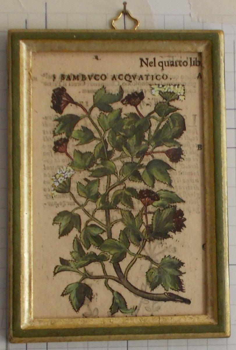 Antique Engraving Botanical XIlography Herbarium Matthioli Mattioli Sambuco Acquatico  1573