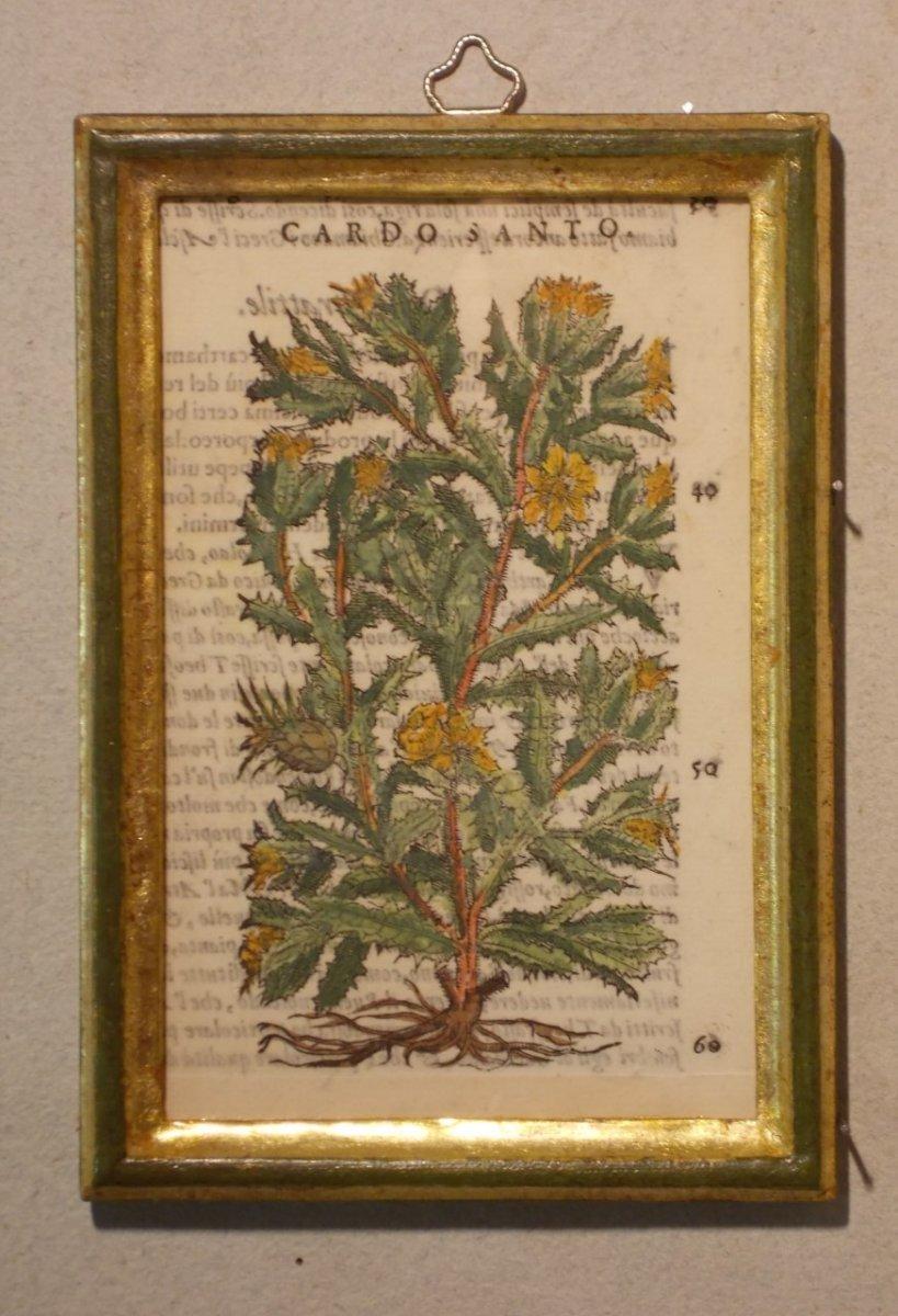 044 Gravure antique xilographie botanique Herbarium Matthioli Mattioli cardo santo 1573