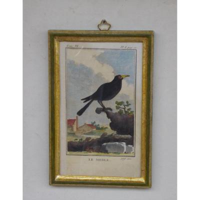 U 30 bis-Gravure antique ornithologie Buffon le merle  XVIII siècle