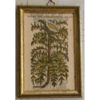 Antique Engraving Botanical XIlography Herbarium Matthioli Mattioli Un'altro Chamaleone 1573