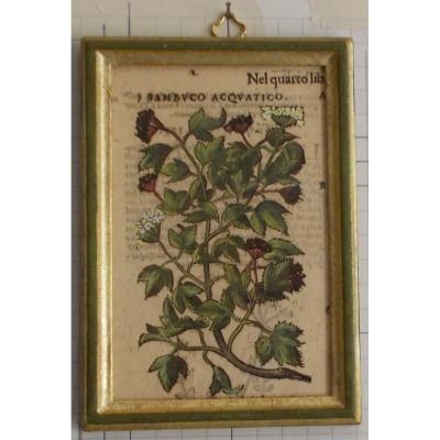 024 Gravure antique xilographie botanique Herbarium Matthioli Mattioli Sambuco  acquatico ainé 1573