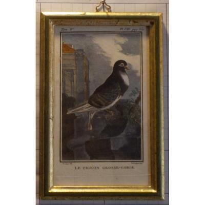 A22-Gravure antique ornithologie Buffon le pigeon grosse-gorge  XVIII siècle