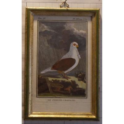 Gravure antique ornithologie Buffon le pigeon-cravate  XVIII siècle