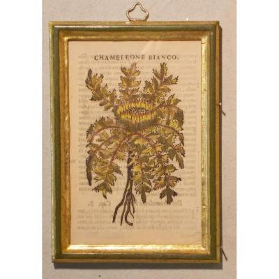 028 Gravure antique xilographie botanique Herbarium Matthioli Mattioli Chamaleone Bianco 1573