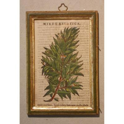 042 Gravure antique xilographie botanique Herbarium Matthioli Mattioli mirto essotica 1573