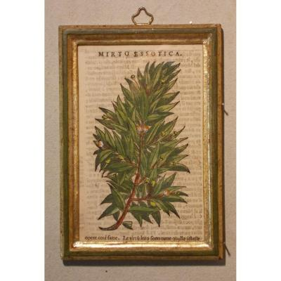042 Antique Engraving Botanical XIlography Herbarium Matthioli Mattioli Mirto Essotica 1573