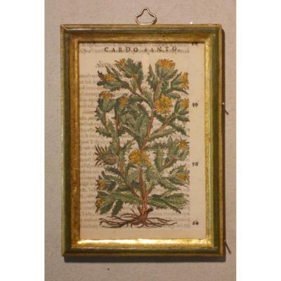 044 Antique Engraving Botanical XIlography Herbarium Matthioli Mattioli Cardo Santo 1573