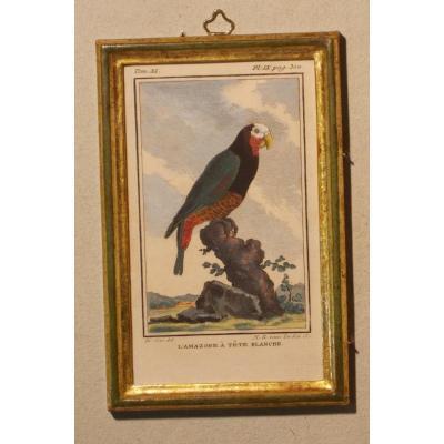 A40 Antique Engraving Ornithology Buffon The White-headed Amazon 18th Century