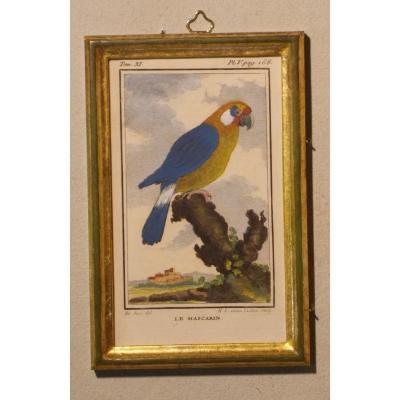 A42 Antique Engraving Ornithology Buffon Le Mascarin 18th Century