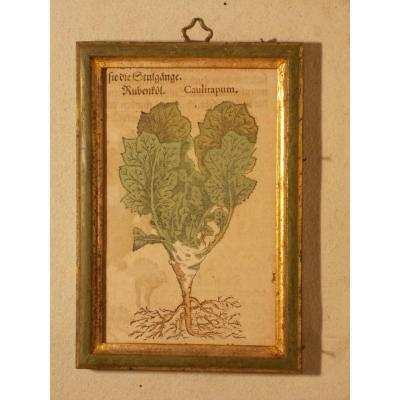 09 Gravure antique xilographie botanique Herbarium Matthioli Mattioli Caulirapum 1573