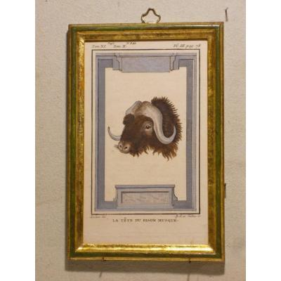 A26 -Gravure antique Buffon quadrupèdes  la tete du bison musque  18ème siècle