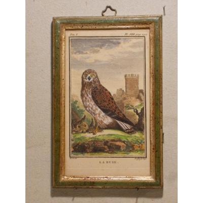 U29  Gravure antique ornithologie Buffon la Buse 18ème siècle
