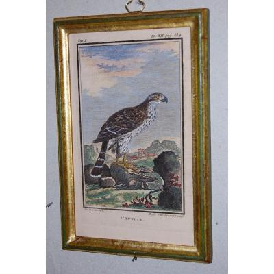 U44 Gravure antique ornithologie Buffon l'Autour 18ème siècle