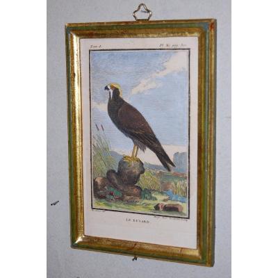 U45 Gravure antique ornithologie Buffon le Busard 18ème siècle