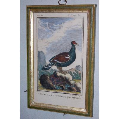 U50 Gravure antique ornithologie Buffon le Tetras 18ème siècle