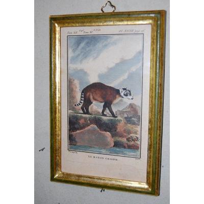 A30 -Gravure antique Buffon quadrupèdes le Raton Crabier 18ème siècle