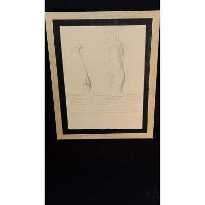 Dessin Anatomique- 19ème