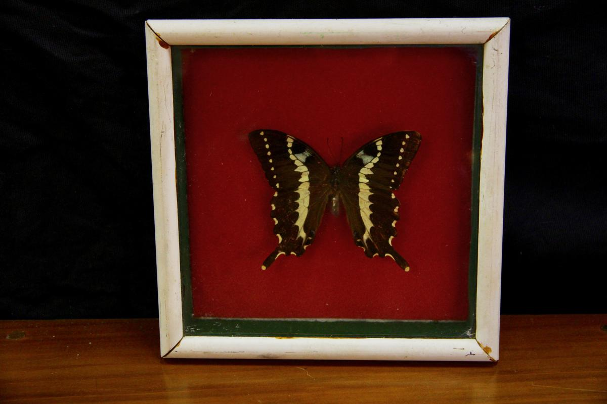 Papillon Sous Verre