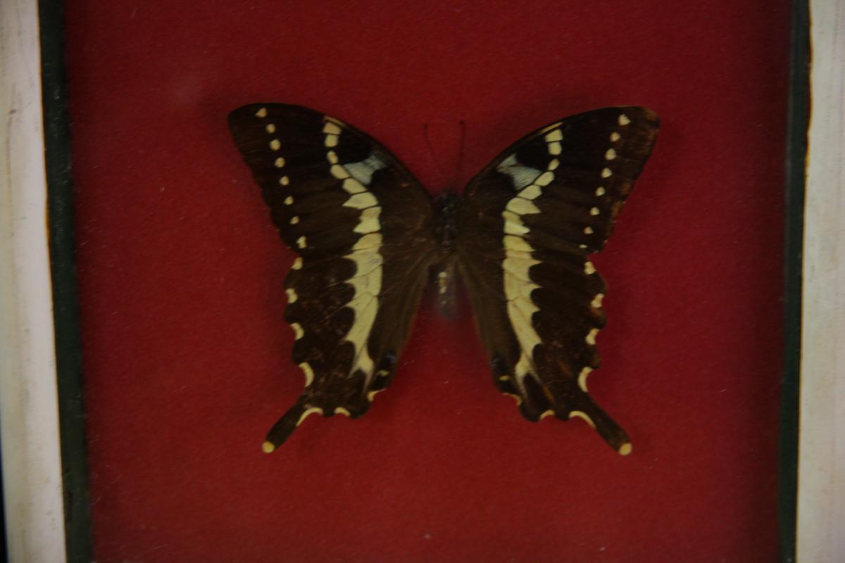Butterfly Under Glass-photo-3