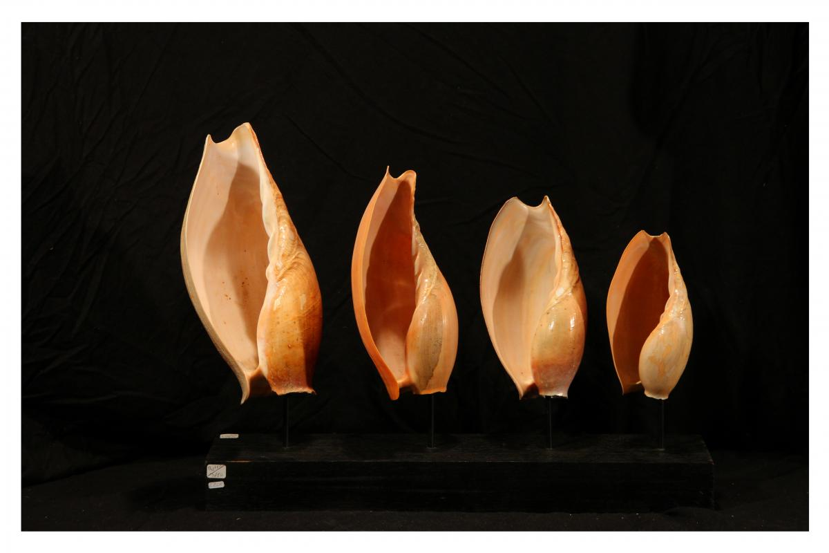Four Shells From The Gulf Of Guinea