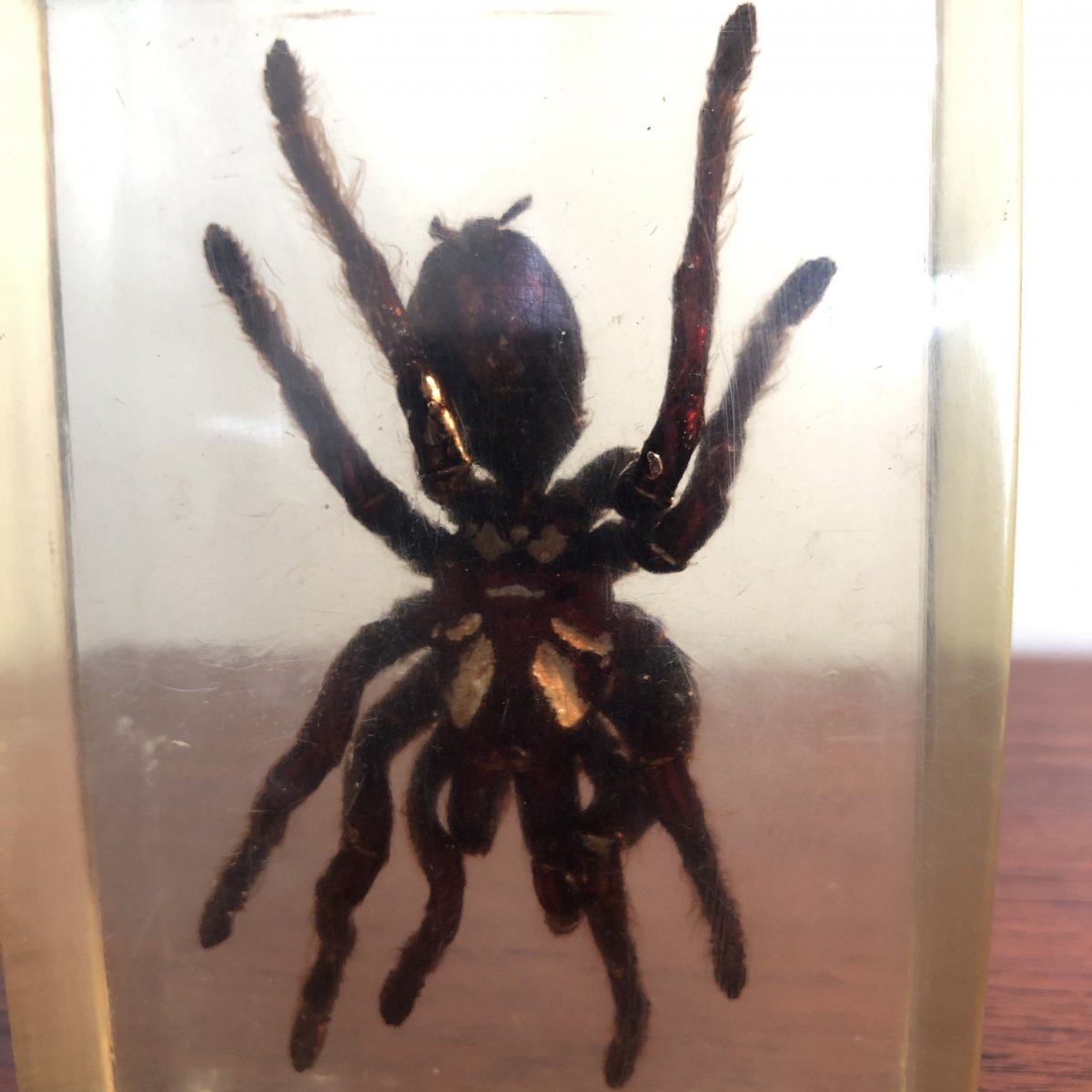 Large Mygal Spider In A Block Of Altuglas 1950 Resin Curiosity