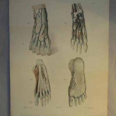 Lithographie XIXe SYSTEME VEINEUX du pied BRAUNE Dessin : KEILITZ Medecine podologue