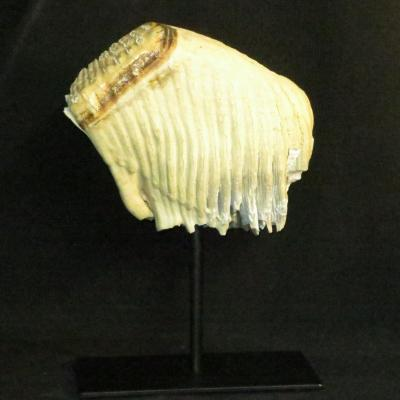 Rare Fossilized Tooth In Good Condition Fossil