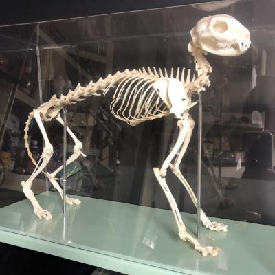 Doctor Auzoux Paris Cat Skeleton On Base And Under Its Protection Medicine Dr