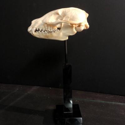 Ancien crâne  de blaireau soclé Cabinet de curiosité crane d' animal