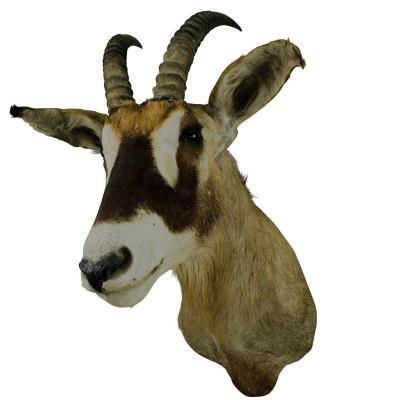 Taxidermie d'Antilope Sable Africaine Empaillée