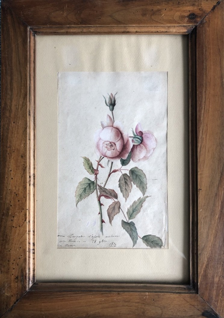 French School Early Nineteenth, Study Of Bengal Roses, Drawing, Watercolor 1829 By Bordes?