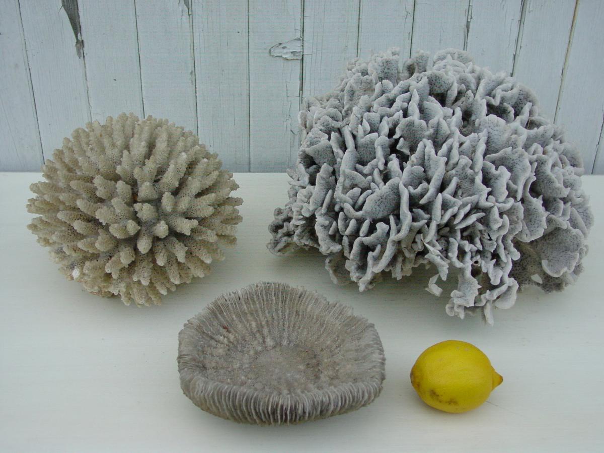 Lot De Trois Grands Coraux Blancs Corail