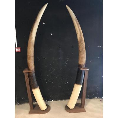Grande Paire De Défenses D'Éléphant En Stuc Décoratif H 2m