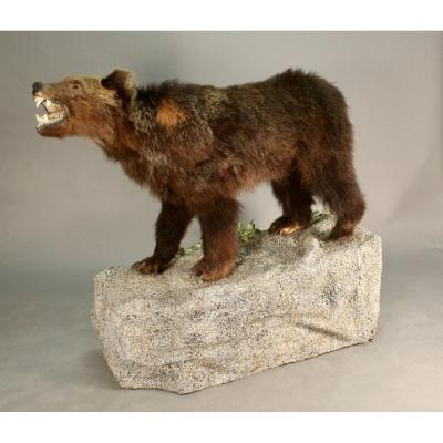 Romanian Bear Taxidermy