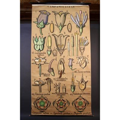 Affiche Tableau Botanique Campanulaceae