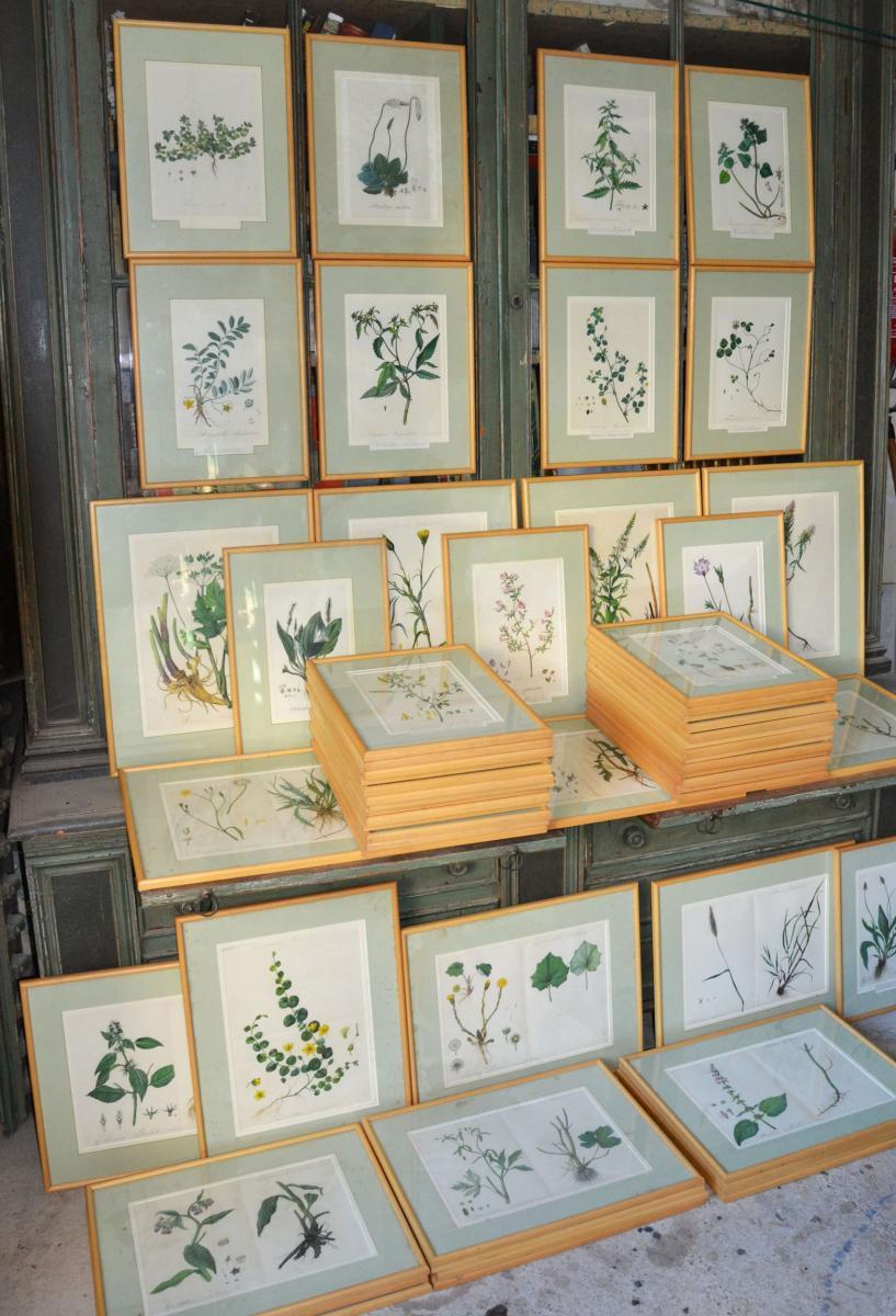 Ensemble  De 60  Aquarelles , Planches Botaniques