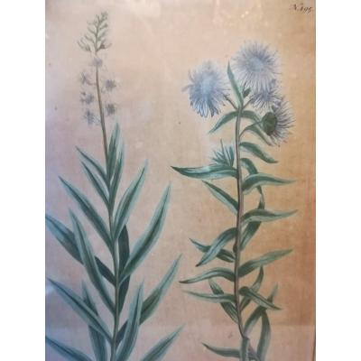 Etching Aster Late 19th