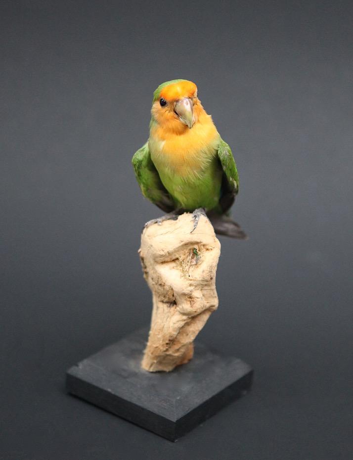 Yellow Parakeet Kakariki In Front - Ringed