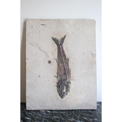 Fossile De Poisson Mioplosus Sur Calcaire