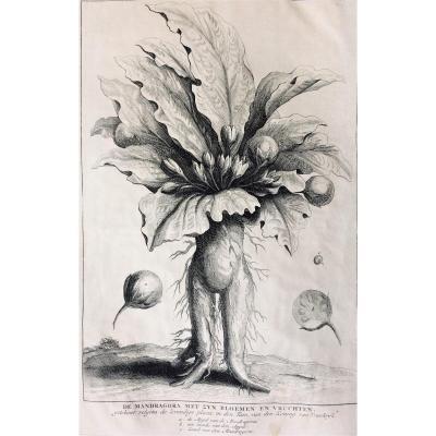 "Engraving. ""mandragore"". 1725."