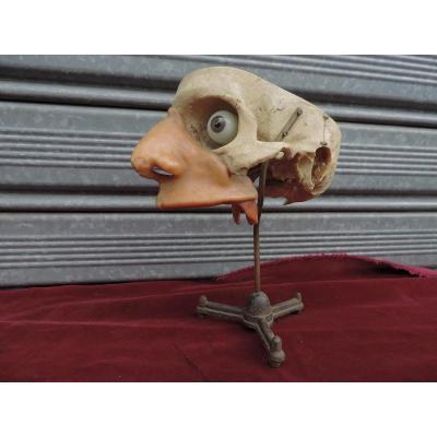 Crâne Pédagogique