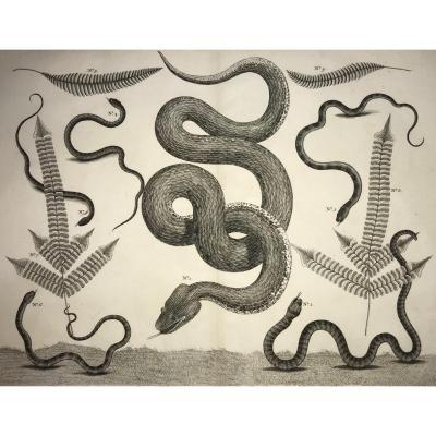 Gravure De Serpents Du Locupletissimi Rerum Naturalium Thesaurus d'Après Albert Seba