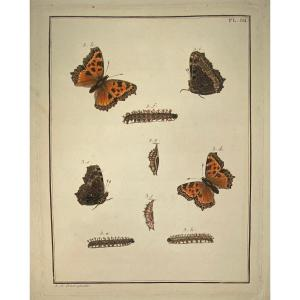 18th Century Engraving Of Butterflies