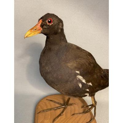 Moorhen. Naturalized Bird, 20th Century Taxidermy