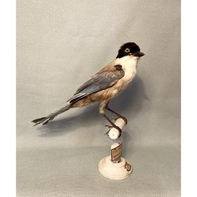 Pie Bleue. Naturalized Bird. 19th Century Taxidermy