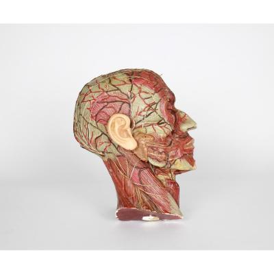 Ecorché anatomique de la tête en plâtre peint années '60s