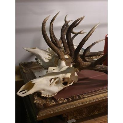 Antlers ........ Deer Horn France